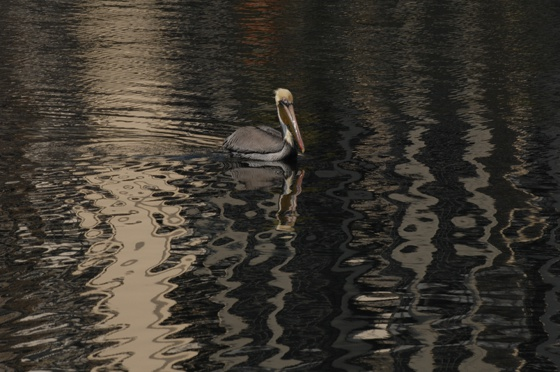 Pelican in St. Pete